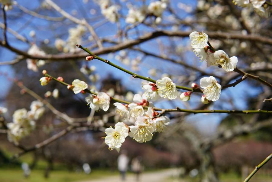 |彦根城の梅イベント| 梅林の見頃とひこね梅あかり
