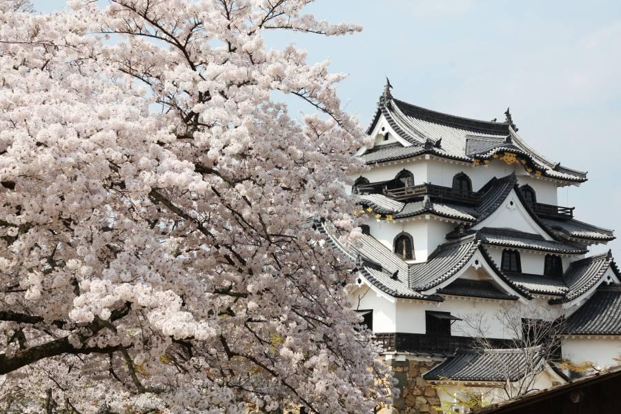|彦根城の桜イベント| 桜の見頃と ひこね桜まつり