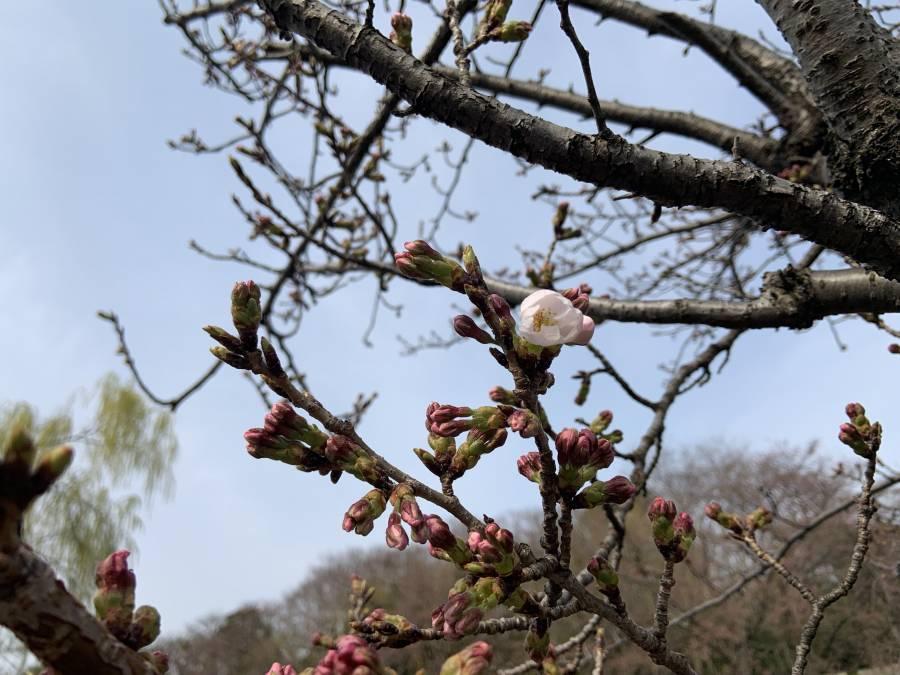 ホテル前桜の木