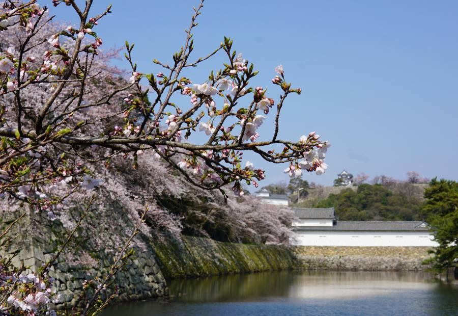 彦根城の桜 五分咲き(2019.4.6)