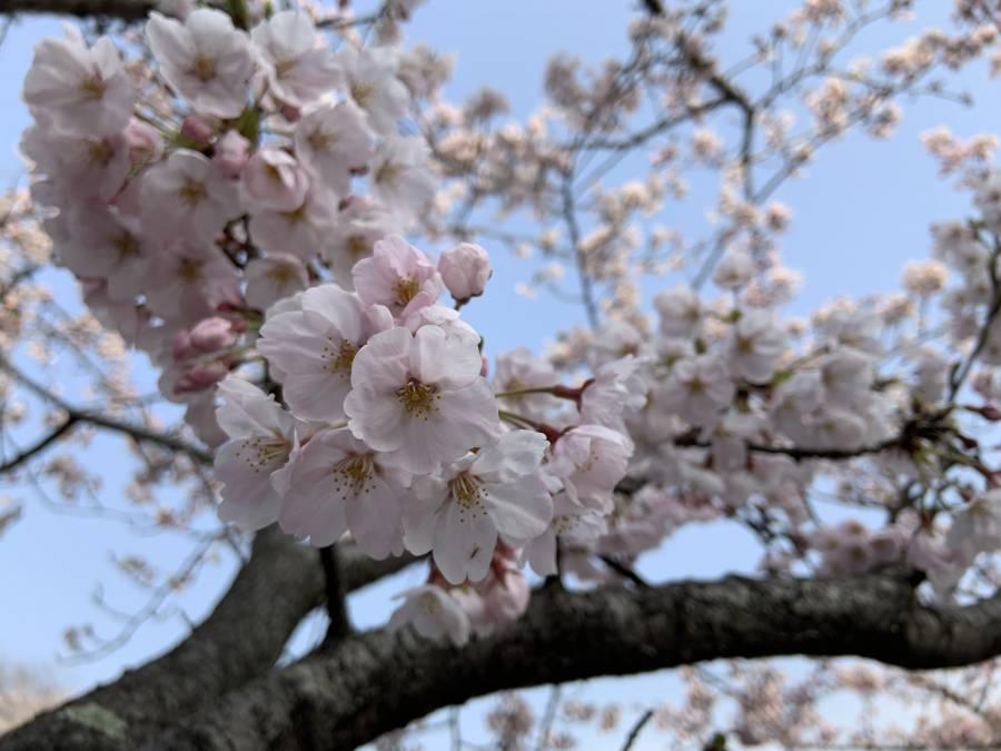 ホテル前桜(4月7日A.M.9:00)