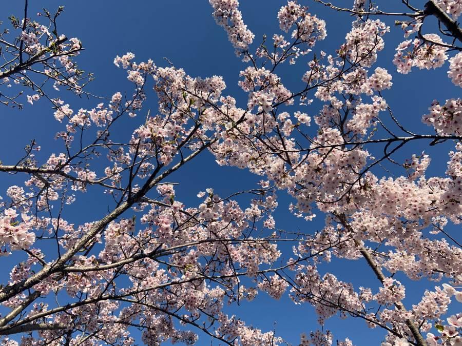本日の桜 ホテル前(A.M.9:00)