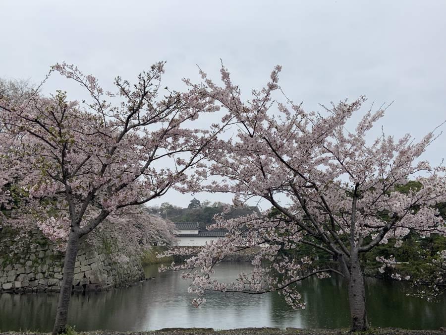 雨の桜と彦根城
