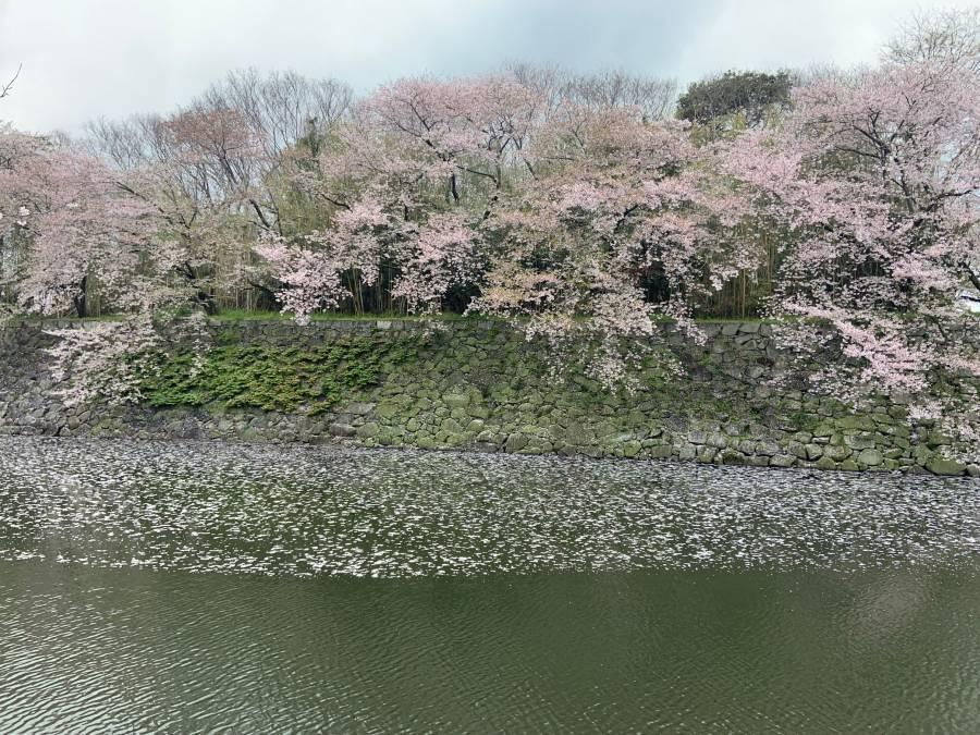|彦根お天気ブログ|彦根城の桜、また来年♪