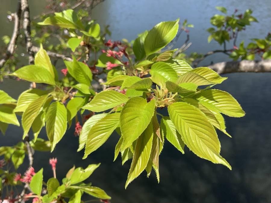 |彦根お天気ブログ|若葉のつややかな緑色(^^)/