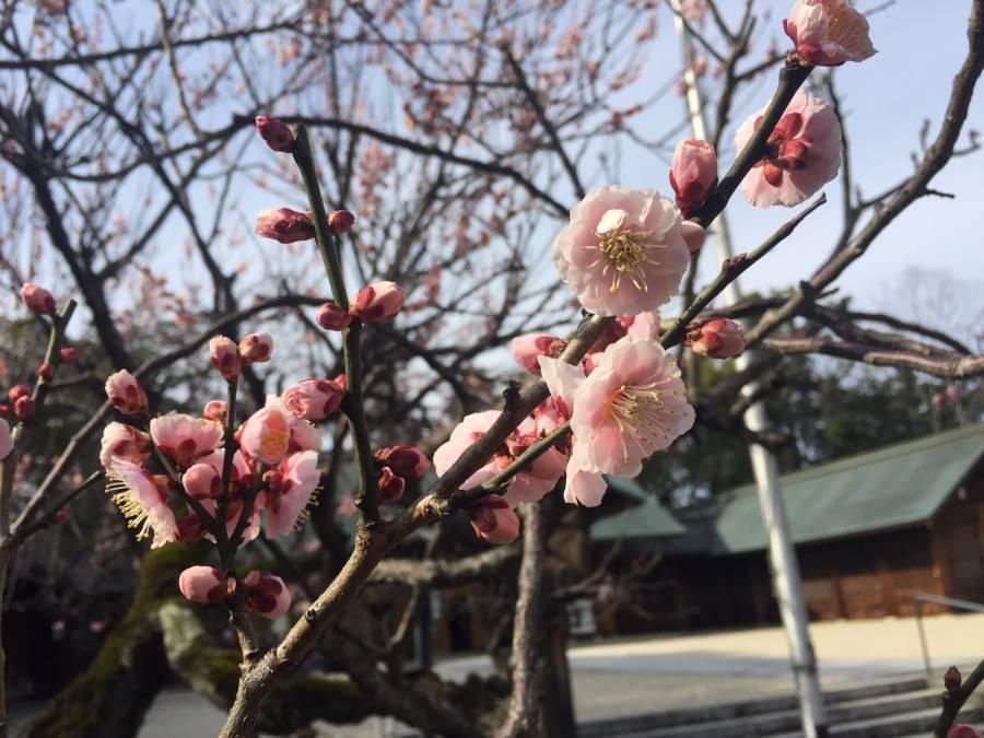 | 彦根お天気ブログ | 三月朔日 ポカポカ陽気!春の訪れ ー護国神社の夫婦梅ー