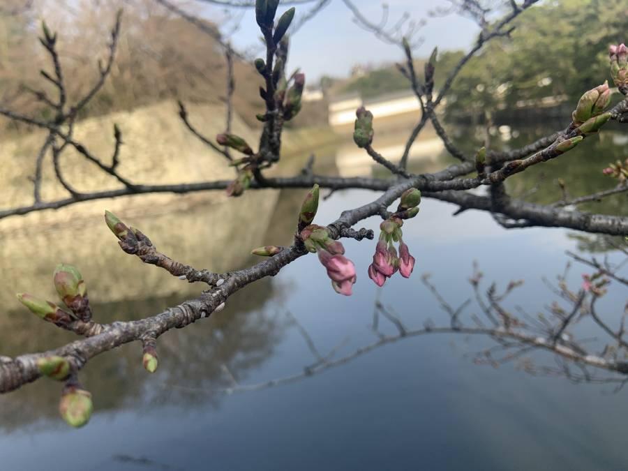 | 彦根お天気ブログ | 春が足踏み!桜の開花まーだだよ!