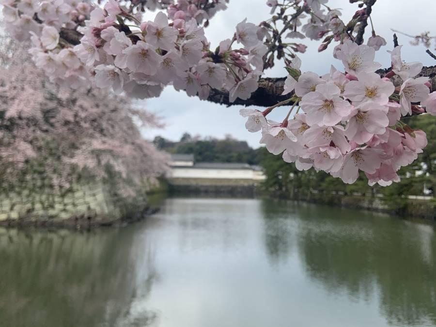   彦根お天気ブログ   4月スタート♪5分咲き(*^_^*)✿