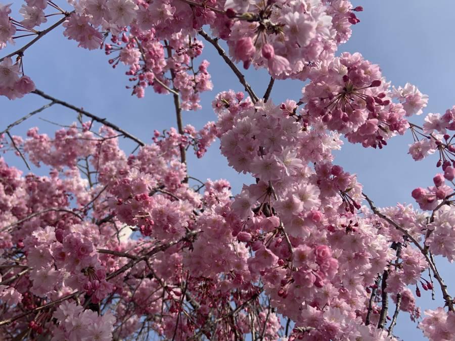 護国神社のしだれ桜