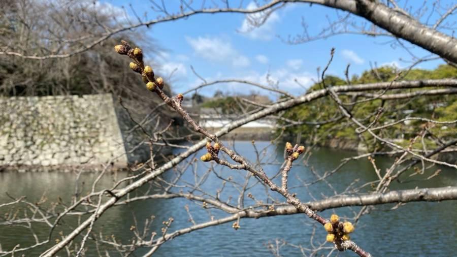 彦根市桜の開花予測✿