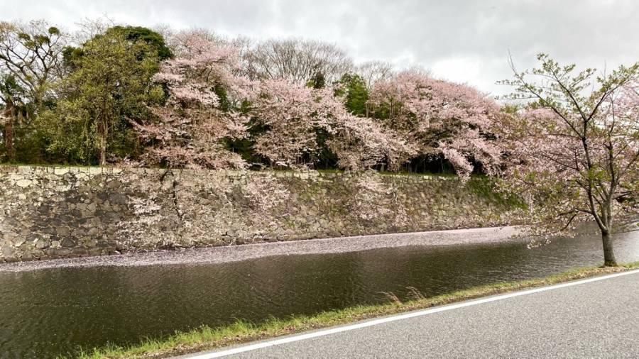 | 彦根お天気ブログ | 桜吹雪