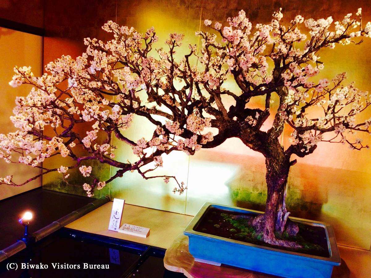 新春の風物詩、日本一の「長浜盆梅展」  1月9日から3月10日まで