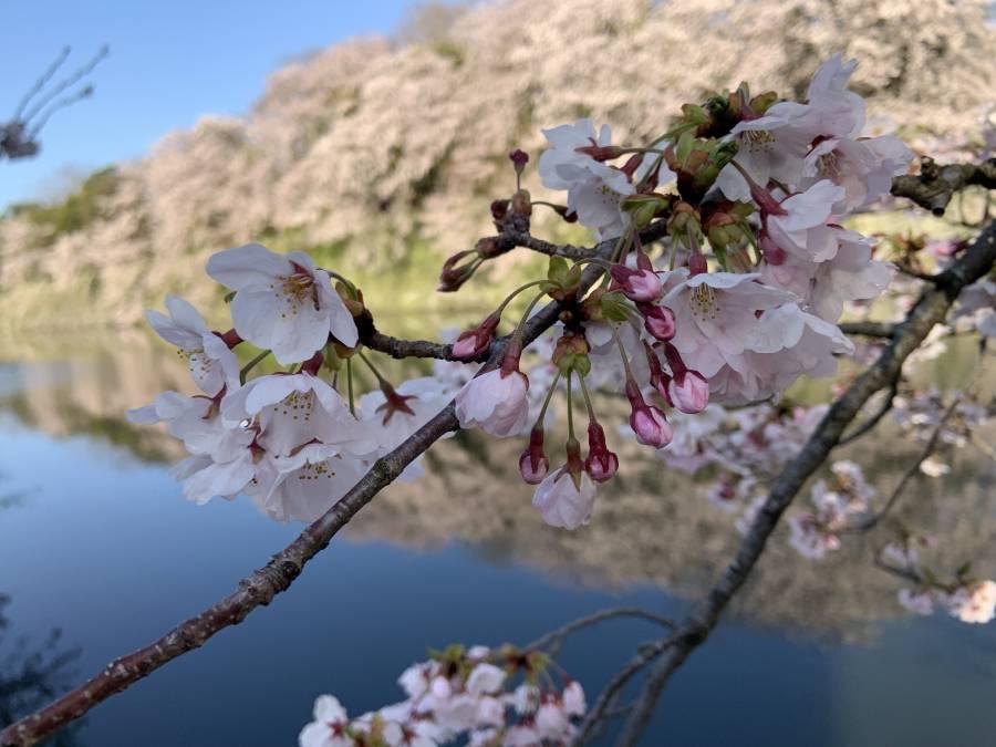 これから咲く桜も