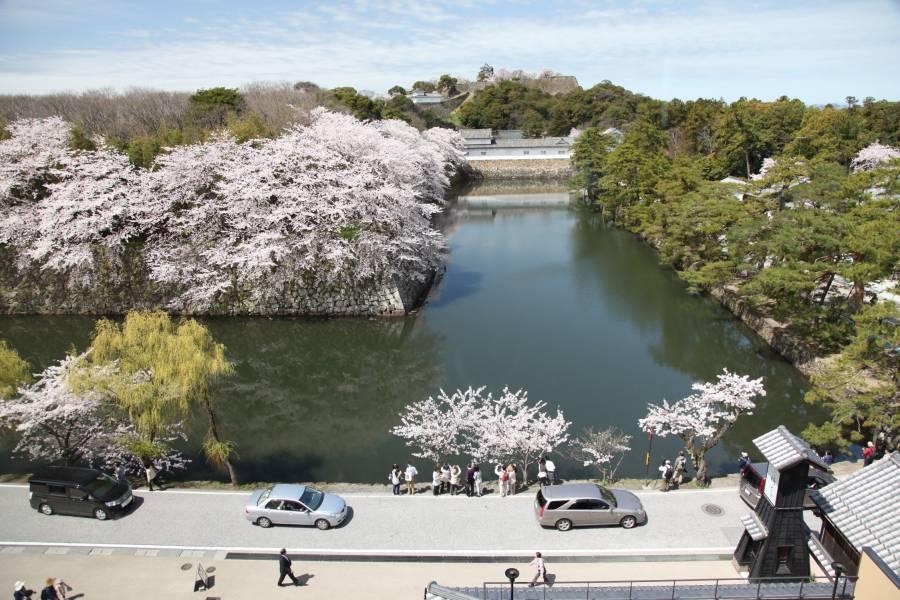 城見のテラスからの桜の彦根城