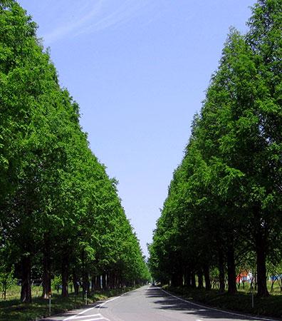 Metasequoia Boulevard
